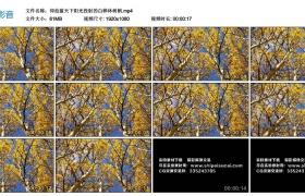 高清实拍视频丨仰拍蓝天下阳光投射的白桦林树梢