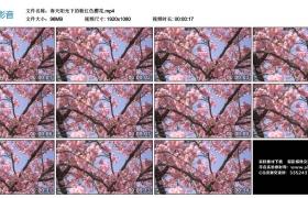 高清实拍视频丨春天阳光下的粉红色樱花