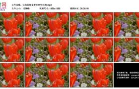 高清实拍视频丨红色的郁金香在风中轻摆
