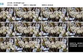 高清实拍视频丨春天梨花盛开