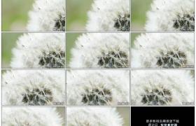 4K实拍视频素材丨摇摄一朵盛开的白色蒲公英