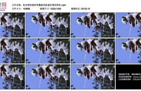 高清实拍视频丨阳光照射着积雪覆盖的挂着松果的雪松