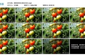 高清实拍视频丨菜园里的西红柿挂在枝头