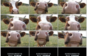 4K实拍视频素材丨特写一只好奇的奶牛看着镜头 嗅着镜头