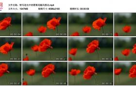 4K视频素材丨特写逆光中的罂粟花随风摆动
