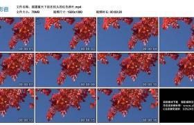 高清实拍视频丨摇摄蓝天下挂在枝头的红色秋叶