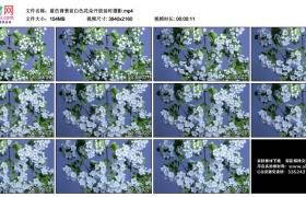 4K视频素材丨蓝色背景前白色花朵开放延时摄影