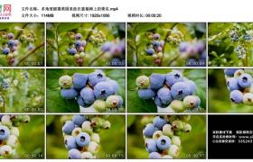 高清实拍视频丨多角度摇摄果园里挂在蓝莓树上的果实