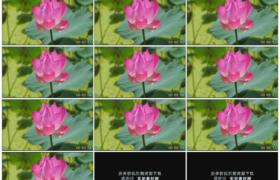 高清实拍视频素材丨阳光照射下一朵粉红色的荷花随风轻摆